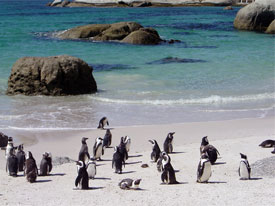 pinguin boulders beach kaapstad strand